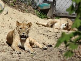 Africké a Lví safari se návštěvníkům otevře už poslední dubnový víkend