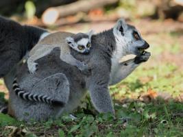 Desátý dril a roztomilý lemur. V safari parku se narodila mláďata vzácných primátů Foto (c) Simona Jiřičková