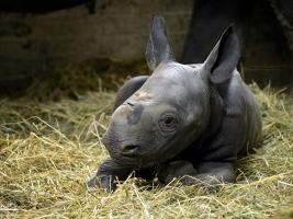 Do Safari Parku Dvůr Králové přibyli během dvou dnů hned dva nosorožci. Foto (c) Dominika Stempa
