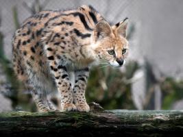 Do Safari Parku Dvůr Králové se vrátili servalové. Foto (c) Simona Jiřičková