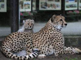 Dvě gepardí koťata od úterý baví návštěvníky dvorské zoo. Foto (c) Jakub Labský