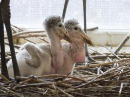 Evropský unikát: V safari parku vyrůstají čtyři mláďata marabua afrického. Foto (c) Simona Jiřičková