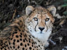 Gepardí bratři Tomas a Toulous budou od víkendu blíže návštěvníkům. Foto (c) Simona Jiřičková