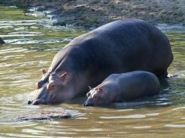 Po roční přestávce má dvorský safari park tři nová mláďata karakalů. Foto (c) Simona Jiřičková