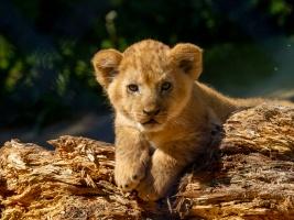Jedna z mladých lvic podstoupila operaci kýly, zotavuje se bez potíží Foto (c) Oliver Le Que