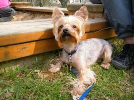 Jorkšírský teriér - ideální pes nejen do bytu
