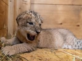 PKhalila pečuje o tři malé lvice. Lvíčata přestěhovala z porodního boxu na jiné místo zázemí. Foto (c) Lukáš Pavlačík