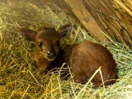 Lesní šibalka Kenya odchovává mládě. Safari park na něj čekal víc než deset let Foto (c) Lukáš Pavlačík