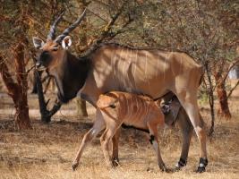 Letošní úspěchy v projektu na záchranu antilop Derbyho. Foto (c) Jana Ptačinská Jirátová/Derbianus Conservation
