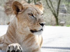 Lvice Khalila a Tessy budou letošní novinkou Lvího safari