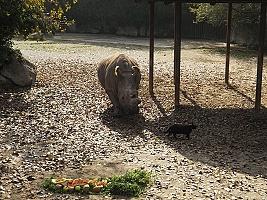 Na oslavu narozenin přivedly samici nosorožce dvě kočky