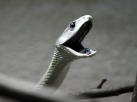 Nejobávanější had Afriky poprvé k vidění v ZOO Dvůr Králové - foto (c) ZOO Dvůr Králové