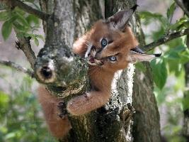 Nejoblíbenějším přírůstkem v Safari Parku Dvůr Králové za rok 2017 jsou koťata karakalů. Foto (c) Simona Jiřičková