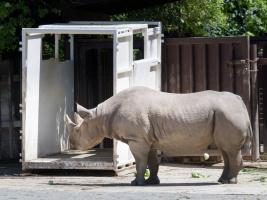 Nosorožci do Rwandy: Největší přesun nosorožců z Evropy do Afriky proběhne tuto neděli. Foto (c) Simona Jiřičková