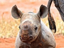 Nosorožcům ze ZOO Dvůr Králové se v Africe narodilo další mládě