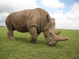Nová studie: Pro záchranu severních bílých nosorožců jsou k dispozici dostatečné genetické zdroje. Foto (c) Simona Jiřičková