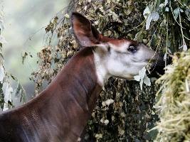 Novou samici okapi už mohou vidět návštěvníci