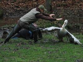 Odchyt pelikánů ze safari se letos podařil za pouhou hodinu. Foto (c) Jakub Labský