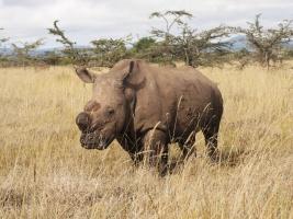 Ostatky Sudána, posledního samce nosorožce bílého severního, jsou v České republice. Foto (c) Jan Stejskal