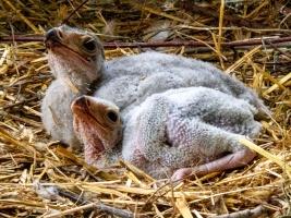 Pokračování úspěšné ságy: dvorští hadilovové vychovávají dvě mláďata. Rodiče pocházejí přímo z Afriky.  Foto (c) Michal Šťastný