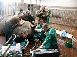 Pokročilé reprodukční technologie dávají šanci na záchranu nosorožců. Foto (c) Leibniz IZW