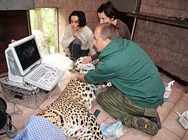 Preventivní vyšetření samce levharta perského (c) Jana Myslivečková