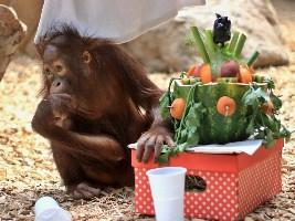 Přijďte oslavit páté narozeniny orangutaní samičky Tessy (c) ZOO Dvůr Králové