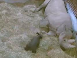 První letošní mládě nosorožce dvourohého je na světě