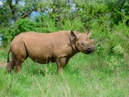 První nosorožci ze Dvora Králové byli ve Rwandě vypuštěni do volné přírody. Foto (c) Jes Gruner, Rwanda Development Board (RDB)