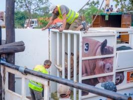 Safari Park Dvůr Králové bezpečně přepravil pět nosorožců do Rwandy. Foto (c) Ben Gasore