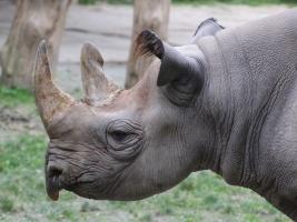 Safari Park Dvůr Králové připomene kritickou situaci nosorožců ve volné přírodě