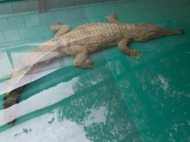 Safari park má nejtajemnějšího z krokodýlů. Samice vzácného druhu přijela ze Španělska. Foto (c) Simona Jiřičková