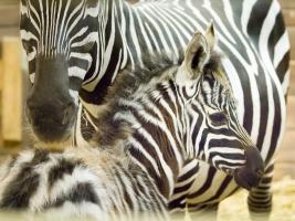 Safari park zažil rok rekordů i zklamání. V příštím roce oslaví 75 let své existence. Foto (c) Simona Jiřičková