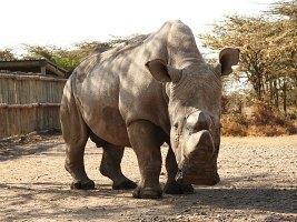 Samice severních bílých nosorožců v Keni by se mohly stát dárkyněmi vajíček pro oplodnění in vitro (c) Jan Stejskal