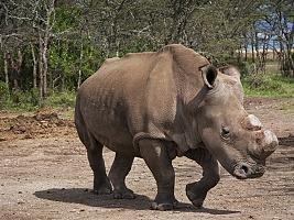 Severní bílý nosorožec Suni v Keni uhynul