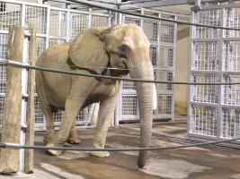 Skupina slonů afrických v Safari Parku Dvůr Králové se rozrostla o novou samici z Vídně. Foto (c) Zuzana Boučková
