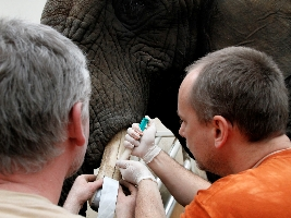 Slonice Saly podstoupila ošetření klů. Foto (c) Simona Jiřičková