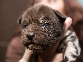 Smečka psů hyenových se znovu rozrostla o jedenácterčata Foto (c) Simona Jiřičková