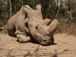 Sudán, poslední samec nosorožce bílého severního, je po smrti. Foto (c) Jan Stejskal