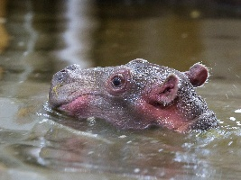 Tři dny po narození vzácného nosorožce přišlo na svět mládě hrocha. Foto (c) Lukáš Pavlačík
