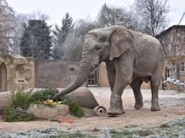 Úhyn sloního samce Kita ve dvorské zoo. Foto (c) Simona Jiřičková