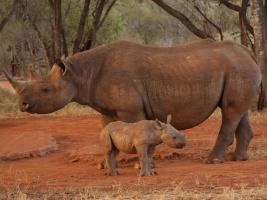 DV Africe se daří Elišce i dalším nosorožcům ze Dvora. Foto (c) Jan Stejskal