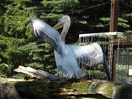 V odchovně pavilonu Ptačí svět jsou mimořádně ještě dvě mláďata pelikánů