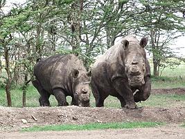 Vyšetření nosorožců v Africe má svá rizika (c) Jan Zďárek