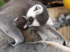ZOO Dvůr Králové oslaví Velikonoce se čtyřmi novými mláďaty lemurů kata