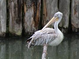 ZOO Dvůr Králové pomáhá obnovit vyhynulé populace pelikánů na Filipínách