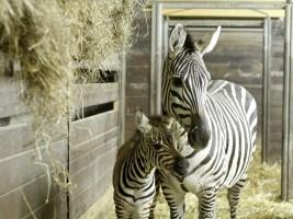 ZOO Dvůr Králové: Prvním mládětem roku 2016 se stala zebra Böhmova. Foto (c) ZOO Dvůr Králové