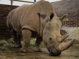 ZOO Dvůr Králové získala novou samici nosorožce tuponosého jižního