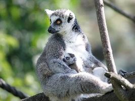 dvojcata-lemuru-a-dve-mladata-drilu-to-jsou-letni-novinky-u-primatu-v-safari-parku-dvur-kralove