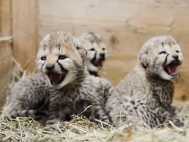 gepardi-skupina-se-rozrostla-o-ctyri-nova-gepardata